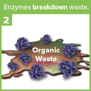 Enzymes breakdown waste